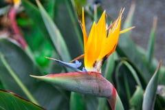 Yelow在圣卡塔琳娜州丰沙尔开花马德拉岛的自豪感,马德拉岛海岛,葡萄牙市公园  库存图片
