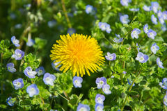 yelow花,美好的自然特写镜头  免版税库存照片