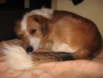 Yelow собаки стоковое изображение