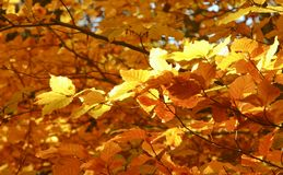Yelow autumn foliage Royalty Free Stock Image