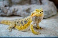 Yelow bearded dragon Royalty Free Stock Photo