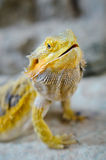 Yelow bearded dragon Royalty Free Stock Images
