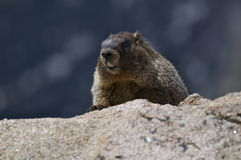 Yelow Bellied Marmot. A small marmot peaks over a rock at Rocky Mountain National Park in Colorado Stock Photo