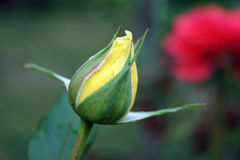 Yelow blomma Arkivbilder