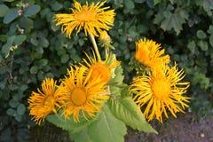 Yelow blomma royaltyfria foton
