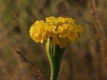 Yelow-Blume mit interesing Hintergrund Stockfotografie