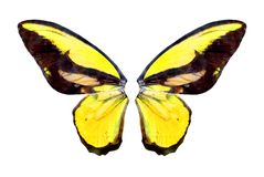 Yelow brilliant butterfly Stock Photos