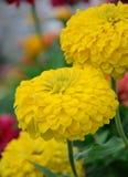 Yelow chrysanthemum Stock Photos