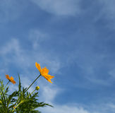 Yelow cosmos field with blue sky Royalty Free Stock Photo