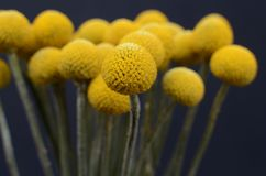 Yelow-Craspediablume für Hintergrund Stockbild