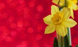 Yelow daffodil Fotografia Stock