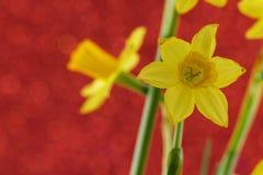 Yelow daffodil Zdjęcia Stock