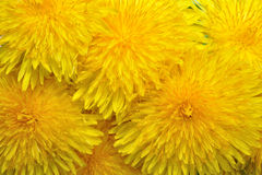 Yelow dandelions Stock Photo