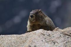 Yelow Doen zwellen Marmot Stock Foto