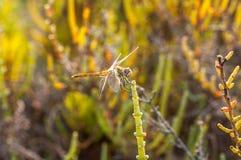Yelow dragonfly na zielonym inkeeper Zdjęcie Stock