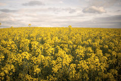 Yelow field in spring Stock Photo