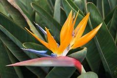 Yelow floresce o orgulho de Madeira Fotos de Stock Royalty Free