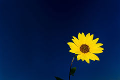Yelow Flower agains Blue Sky Stock Image