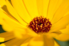Yelow  flower close up Royalty Free Stock Images