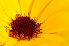 Yelow  flower close up Stock Photo