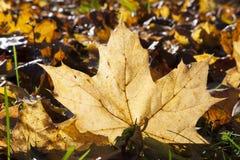 Yelow-Herbstahornblatt Lizenzfreie Stockfotos
