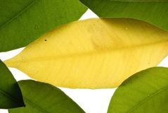 Yelow leaf Stock Photos