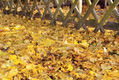Yelow leaves carpet Royalty Free Stock Photography