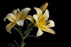 Yelow-Lilienblumen auf schwarzem Hintergrund Lizenzfreie Stockfotos