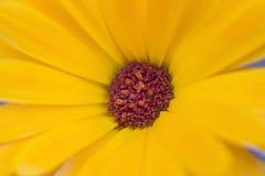 Yelow makro- kwiat fotografia royalty free