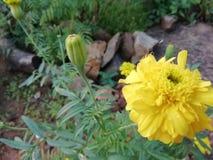 Yellow marigold stock image