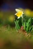 Yelow Narcissus Stock Photo