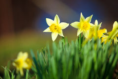 Yelow Narcissus - Spring Stock Photos