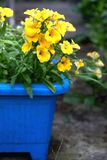 Yelow nemesia flowers close up in a blue flowerpot. Yelow nemesia flowers close up Stock Image