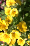 Yelow nemesia flowers close up. Yelow nemesia flowers in the garden  close up Royalty Free Stock Photo