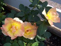 Yellow and peach roses royalty free stock photos