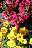 Yelow and pink nemesia flowers close up. Yelow and pink nemesia flowers blossom close up Stock Photography