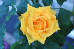 Yelow pomarańcze róża Obrazy Stock