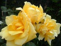 Yelow róże Fotografia Royalty Free