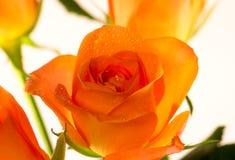 Yelow rose. Stock Photography