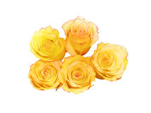 Yelow roses Royalty Free Stock Photos