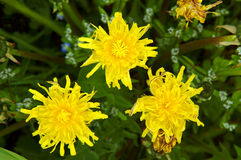Yelow sonchus. On a meadow Royalty Free Stock Images