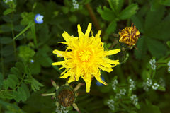 Yelow sonchus. On a meadow Royalty Free Stock Photos