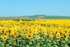 Yelow sunflower fields in hill of the Caucasus Stock Photography