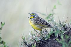 Yelow-throated Longclaw Singing Stock Photo