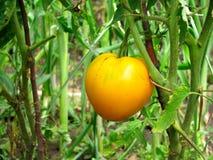 Yelow tomato closeup Stock Photos