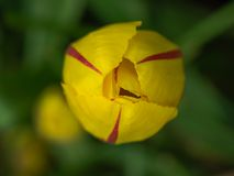 Yelow tulip with red flames. Closed yellow tulip with red flames shot from above Stock Photo