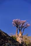 yemen Île de Socotra Arbre fleurissant de bouteille avec les fleurs roses Photo libre de droits