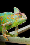 Yemen Chameleon. Yemen or Veiled Chameleon sitting on a cactus leaf Stock Images