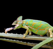 Yemen Chameleon. Yemen or Veiled Chameleon catching a grasshopper in a split second Stock Photo