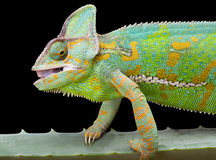 Yemen Chameleon. Yemen or Veiled Chameleon sitting on a cactus leaf Stock Photography